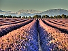 Senteurs de Provence, la lavande du Plateau de Valensole